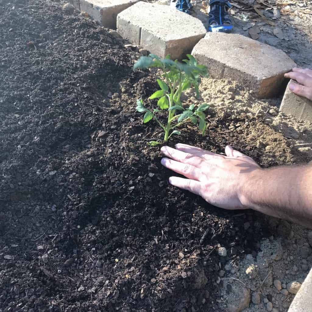 planting tomato plants in garden