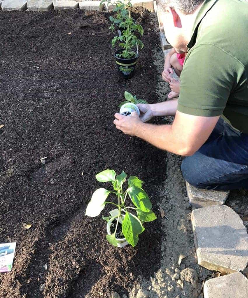 planting tomato plants in soil