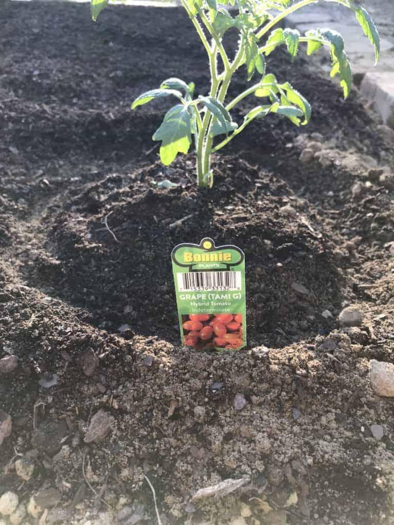 grape tomato plant in garden